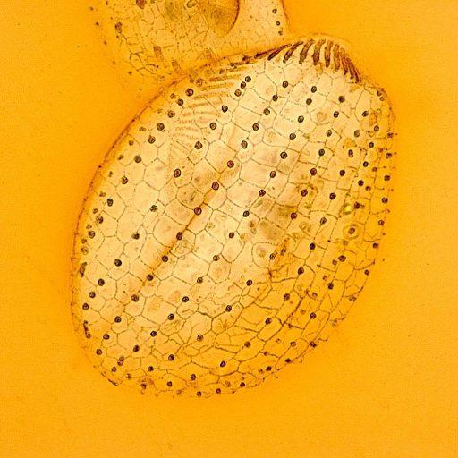 cropped-f-erra-euplotes-sp-impregnazione-argentica2.jpg